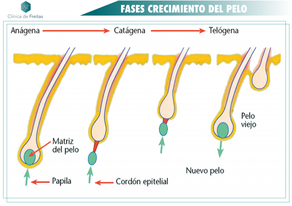 FASES CRECIMIENTO CAPILAR